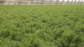 Μεγάλο θερμοκήπιο με το μαρούλι στο χωριό, γεωργική βιομηχανία φρέσκος απόθεμα βίντεο