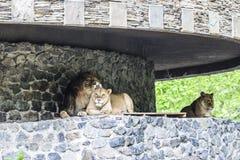 Μεγάλο λιοντάρι, λιονταρίνα και, όμορφο, ζεύγος, που στηρίζεται στη σκιά των τοίχων Στοκ Φωτογραφίες