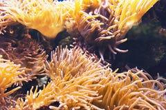 Μεγάλο κίτρινο anemone θάλασσας κάτω από το νερό Στοκ Εικόνα