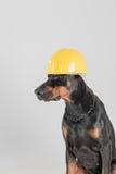 Μεγάλο και ήρεμο σκυλί που φορά το προστατευτικό κίτρινο καπέλο Στοκ εικόνες με δικαίωμα ελεύθερης χρήσης
