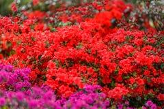 Μεγάλο και όμορφο άνθισμα δίπλα στα ρόδινα λουλούδια Στοκ Φωτογραφία