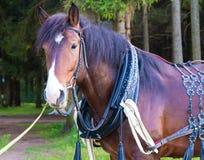 Μεγάλο καφετί άλογο που στέκεται κοντά επάνω Στοκ Φωτογραφίες