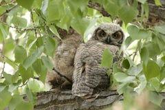 μεγάλο κερασφόρο owlet Στοκ φωτογραφίες με δικαίωμα ελεύθερης χρήσης