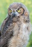 μεγάλο κερασφόρο owlet Στοκ Φωτογραφία