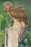 μεγάλο κερασφόρο owlet Στοκ φωτογραφία με δικαίωμα ελεύθερης χρήσης