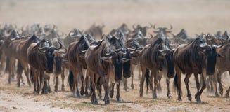 Μεγάλο κοπάδι πιό wildebeest στη σαβάνα μεγάλη μετανάστευση Κένυα Τανζανία Εθνικό πάρκο της Mara Masai Στοκ Φωτογραφίες