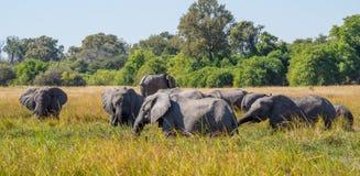 Μεγάλο κοπάδι των αφρικανικών ελεφάντων που βόσκουν στην ψηλή χλόη ποταμών με τα πράσινα δέντρα στο υπόβαθρο, σαφάρι σε Moremi NP Στοκ Φωτογραφίες
