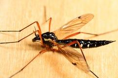 Μεγάλο κουνούπι Στοκ εικόνα με δικαίωμα ελεύθερης χρήσης