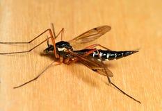 Μεγάλο κουνούπι Στοκ Εικόνες
