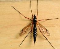 Μεγάλο κουνούπι Στοκ φωτογραφία με δικαίωμα ελεύθερης χρήσης