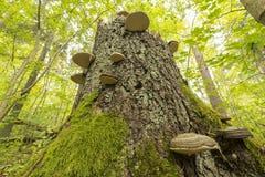Μεγάλο κολόβωμα με τους μύκητες Στοκ φωτογραφία με δικαίωμα ελεύθερης χρήσης