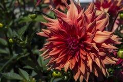 Μεγάλο κόκκινο λουλούδι μιας ντάλιας Στοκ Φωτογραφίες