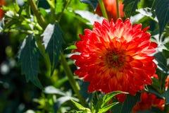 Μεγάλο κόκκινο λουλούδι μιας ντάλιας Στοκ εικόνα με δικαίωμα ελεύθερης χρήσης