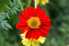 Μεγάλο κόκκινο λουλούδι Στοκ Φωτογραφία