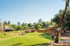 Μεγάλο κλουβί με τα ζώα στην πράσινη χλόη και την κατανάλωση giraffes στο ζωολογικό κήπο της Βαλένθια, Ισπανία Στοκ εικόνες με δικαίωμα ελεύθερης χρήσης