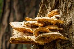Μεγάλο μανιτάρι στο δέντρο Στοκ Φωτογραφίες