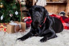 Μεγάλο μαύρο Λαμπραντόρ, διακοπές, Χριστούγεννα, νέο έτος Στοκ εικόνες με δικαίωμα ελεύθερης χρήσης