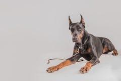Μεγάλο μαύρο σκυλί που ακούει προσεκτικά και που φαίνεται αβέβαιο Στοκ Φωτογραφίες
