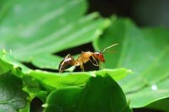 Μεγάλο μυρμήγκι Στοκ φωτογραφία με δικαίωμα ελεύθερης χρήσης