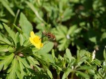 Μεγάλο νέκταρ Bombylius μέλισσα-μυγών majorsucks από ένα λουλούδι Στοκ φωτογραφίες με δικαίωμα ελεύθερης χρήσης