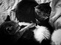 μεγάλο οικογενειακό γατάκι γατών μικρό Στοκ φωτογραφία με δικαίωμα ελεύθερης χρήσης