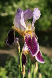 Μεγάλο λουλούδι ίριδων Στοκ φωτογραφία με δικαίωμα ελεύθερης χρήσης