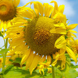Μεγάλο λουλούδι και λίγη μέλισσα Στοκ εικόνα με δικαίωμα ελεύθερης χρήσης
