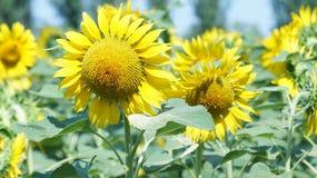 Μεγάλο λουλούδι του ηλίανθου Στοκ εικόνα με δικαίωμα ελεύθερης χρήσης