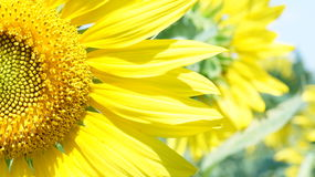 Μεγάλο λουλούδι του ηλίανθου Στοκ Εικόνες