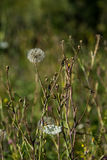 Μεγάλο λουλούδι τύπων πικραλίδων Στοκ Εικόνες