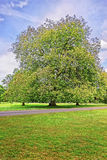 Μεγάλο παλαιό δέντρο σφενδάμνου στο πάρκο του σπιτιού τελών Audley Στοκ Εικόνες