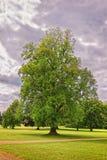 Μεγάλο παλαιό δέντρο σφενδάμνου στο πάρκο του τέλους Audley Στοκ εικόνες με δικαίωμα ελεύθερης χρήσης
