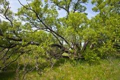 μεγάλο παλαιό δέντρο Στοκ Εικόνα