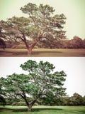 Μεγάλο παλαιό δρύινο δέντρο στο πράσινο σύνολο τρύών και grunge ύφους Στοκ Εικόνες