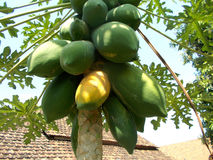 Μεγάλο παλαιό papaya στο δέντρο στοκ φωτογραφίες