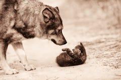 Μεγάλο περιπλανώμενο γατάκι συνεδρίασης των σκυλιών Στοκ Εικόνες