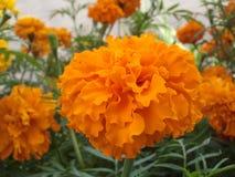 Μεγάλο πορτοκάλι marygolds Στοκ Φωτογραφίες