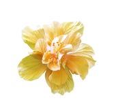 Μεγάλο πορτοκαλί hibiscus που απομονώνεται Στοκ εικόνες με δικαίωμα ελεύθερης χρήσης
