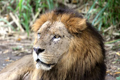 μεγάλο πορτρέτο λιονταριών Στοκ εικόνα με δικαίωμα ελεύθερης χρήσης
