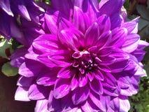 Μεγάλο πορφυρό λουλούδι στοκ εικόνα με δικαίωμα ελεύθερης χρήσης