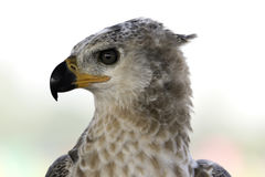 Μεγάλο πουλί κυνηγών headshot με το μεγάλο μάτι Στοκ Εικόνες
