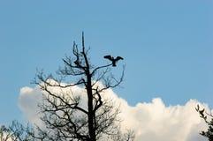 Μεγάλο πουλί που προσγειώνεται στον παλαιό κλάδο δέντρων Στοκ φωτογραφία με δικαίωμα ελεύθερης χρήσης
