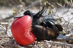 Μεγάλο πουλί φρεγάτων που εκθέτει τη σακούλα του στοκ φωτογραφία