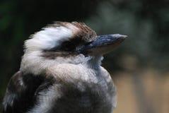 Μεγάλο πουλί Kookaburra επάνω στενό και προσωπικό Στοκ Εικόνα