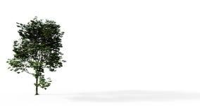 Μεγάλο πράσινο δέντρο που απομονώνεται με τη σκιά Στοκ φωτογραφία με δικαίωμα ελεύθερης χρήσης