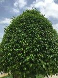 μεγάλο πράσινο δέντρο Στοκ Εικόνες