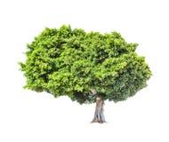 Μεγάλο πράσινο πολύβλαστο δέντρο Στοκ φωτογραφία με δικαίωμα ελεύθερης χρήσης