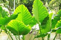 Μεγάλο πράσινο τροπικό φύλλο θάμνων - γιγαντιαίο όρθιο αυτί ελεφάντων, νύχτα-scented κρίνος Alocasia Odora Στοκ Εικόνες