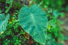 Μεγάλο πράσινο φύλλο με τις πτώσεις της δροσιάς Στοκ εικόνες με δικαίωμα ελεύθερης χρήσης