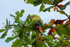 Μεγάλο πράσινο ambiguus Ara πουλιών παπαγάλων macaw Στοκ Φωτογραφίες